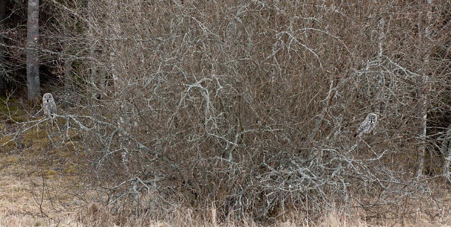 2 lappisar i en buske  Hs   2012 apr 01_3257