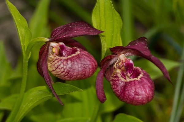 Cypripedium 2 st