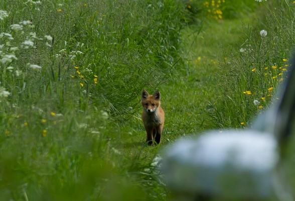Fox   Hs