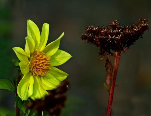 Gardenflower  Hs