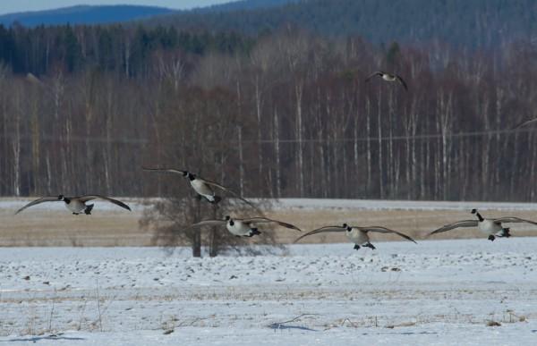 Naglarby  Kanadagass  Hs  2014 03 18_0341