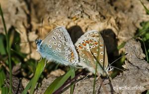 Puktorne parning Beijersh  2015 08 04_Oland_1885