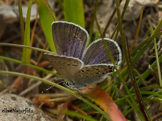 Violett blavinge  2014 06 24_3805