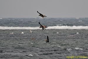 havsornar-storskarv-5.jpg