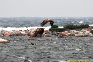 havsornarstorskarv1.jpg