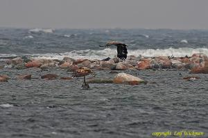 havsornarstorskarv2.jpg