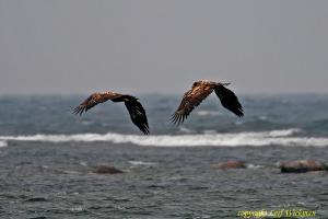 havsornarstorskarv5.jpg