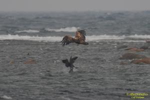 havsornen-o-storskarven.jpg